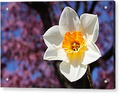Narcissus And Cherry Blossoms Acrylic Print