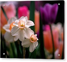Narcissus And Tulips Acrylic Print by Rona Black