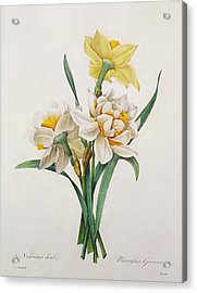 Narcissus Gouani Acrylic Print by Pierre Joseph Redoute