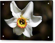 Narcissus I Acrylic Print by Aya Murrells