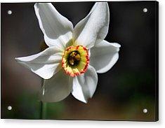 Narcissus II Acrylic Print by Aya Murrells