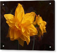 Narcissus Sweet Sue In Full Bloom Acrylic Print by Rona Black