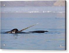 Narwhal Male Baffin Island Canada Acrylic Print