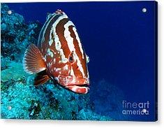 Nassau Grouper Acrylic Print by Carey Chen