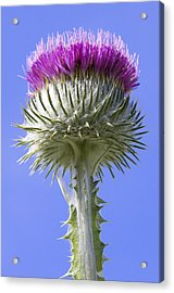 National Flower Of Scotland Acrylic Print by Ross G Strachan