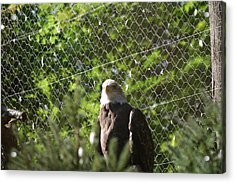 National Zoo - Bald Eagle - 12121 Acrylic Print by DC Photographer