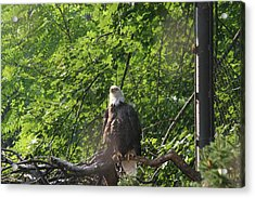 National Zoo - Bald Eagle - 12122 Acrylic Print by DC Photographer