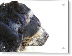 National Zoo - Bear - 01133 Acrylic Print