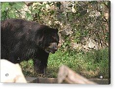 National Zoo - Bear - 12124 Acrylic Print