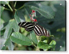 National Zoo - Butterfly - 12121 Acrylic Print