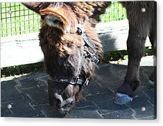 National Zoo - Donkey - 01139 Acrylic Print by DC Photographer