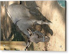 National Zoo - Donkey - 12126 Acrylic Print