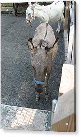 National Zoo - Donkey - 12127 Acrylic Print by DC Photographer