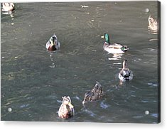 National Zoo - Duck - 12123 Acrylic Print by DC Photographer