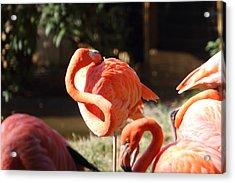 National Zoo - Flamingo - 01135 Acrylic Print by DC Photographer