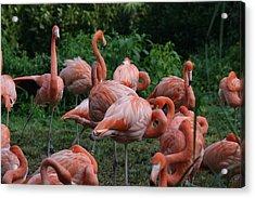 National Zoo - Flamingo - 12123 Acrylic Print