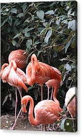 National Zoo - Flamingo - 12124 Acrylic Print by DC Photographer