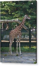 National Zoo - Giraffe - 12121 Acrylic Print by DC Photographer