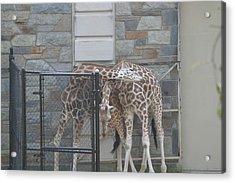 National Zoo - Giraffe - 12122 Acrylic Print by DC Photographer