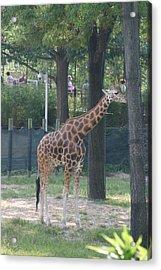 National Zoo - Giraffe - 12124 Acrylic Print by DC Photographer