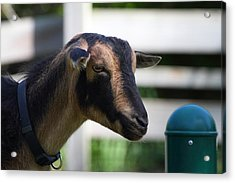 National Zoo - Goat - 01132 Acrylic Print by DC Photographer
