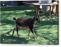 National Zoo - Goat - 01134 Acrylic Print