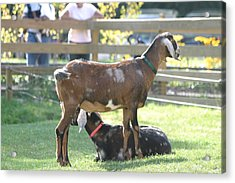 National Zoo - Goat - 12121 Acrylic Print by DC Photographer