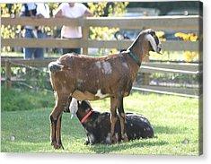 National Zoo - Goat - 12121 Acrylic Print