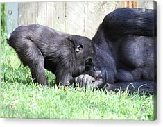 National Zoo - Gorilla - 011330 Acrylic Print