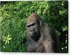 National Zoo - Gorilla - 121226 Acrylic Print