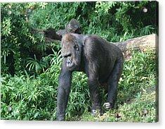 National Zoo - Gorilla - 121229 Acrylic Print
