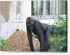 National Zoo - Gorilla - 121242 Acrylic Print by DC Photographer