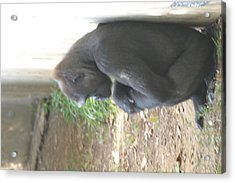 National Zoo - Gorilla - 121247 Acrylic Print by DC Photographer