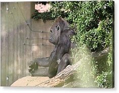 National Zoo - Gorilla - 121255 Acrylic Print