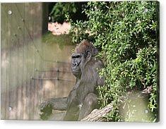 National Zoo - Gorilla - 121256 Acrylic Print