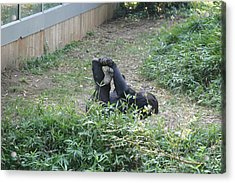 National Zoo - Gorilla - 121268 Acrylic Print by DC Photographer
