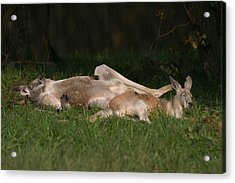National Zoo - Kangaroo - 12122 Acrylic Print by DC Photographer