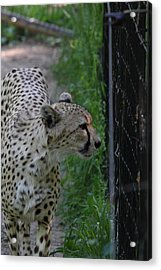 National Zoo - Leopard - 011312 Acrylic Print by DC Photographer