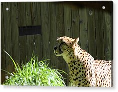 National Zoo - Leopard - 011320 Acrylic Print by DC Photographer