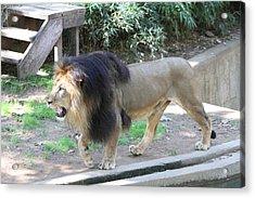National Zoo - Lion - 011311 Acrylic Print