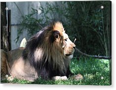 National Zoo - Lion - 011318 Acrylic Print by DC Photographer