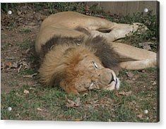 National Zoo - Lion - 12121 Acrylic Print by DC Photographer