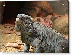National Zoo - Lizard - 12121 Acrylic Print