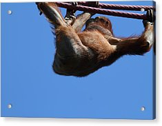 National Zoo - Orangutan - 011312 Acrylic Print by DC Photographer