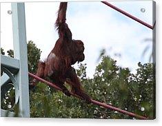 National Zoo - Orangutan - 01132 Acrylic Print by DC Photographer