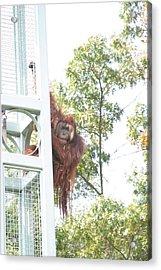 National Zoo - Orangutan - 121211 Acrylic Print by DC Photographer