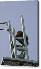 National Zoo - Orangutan - 121213 Acrylic Print