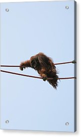National Zoo - Orangutan - 121214 Acrylic Print by DC Photographer