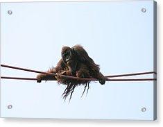 National Zoo - Orangutan - 121217 Acrylic Print by DC Photographer