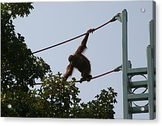 National Zoo - Orangutan - 12122 Acrylic Print by DC Photographer